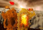 Катехоламините – активаторите на метаболизма и изгарянето на мазнините